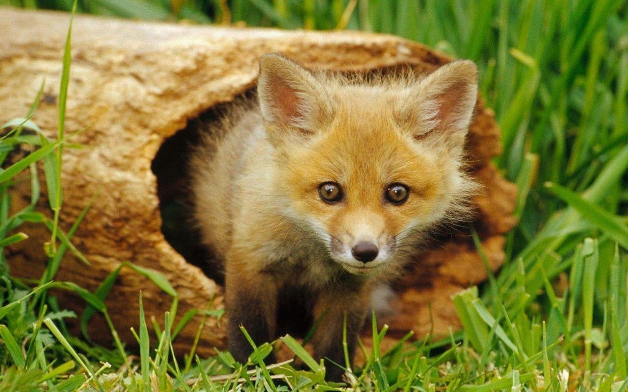 Petit renard fond d 39 cran - Renard mignon ...